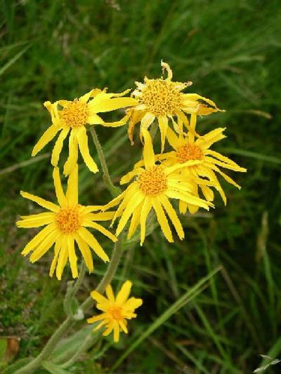 Planta del sol es una de las doce plantas sagradas de los rosacruz